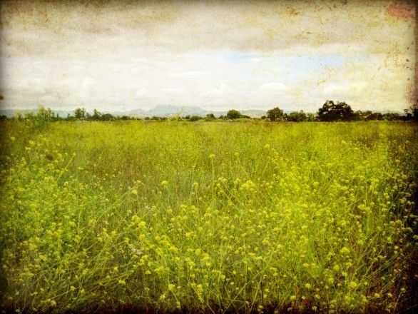 Image detail for -... art - chartreuse green decor - photography print 8x10 - Mustard field