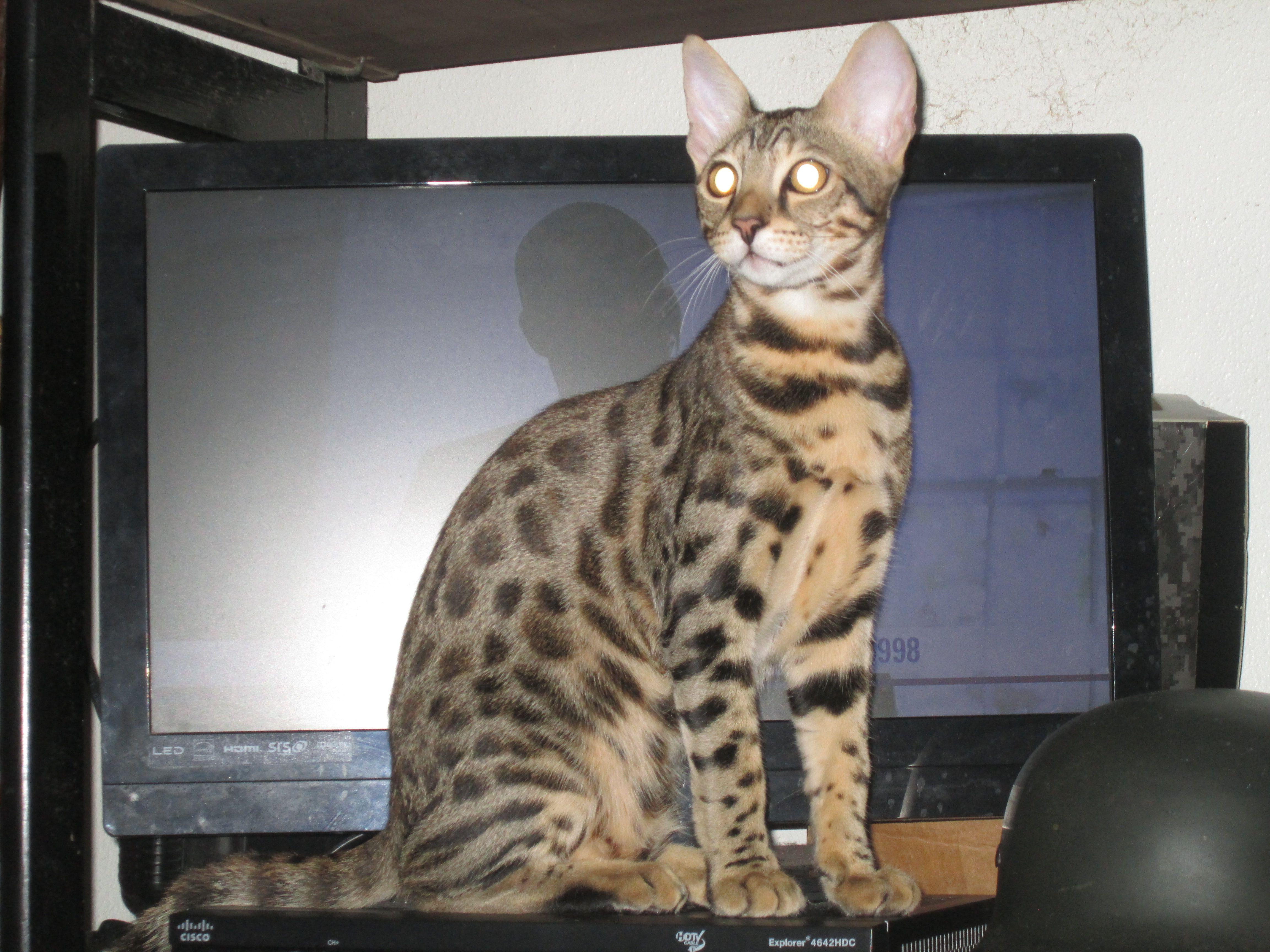 Meine Savannah Katze Oz, 5 Monate Alte Cats, Animals