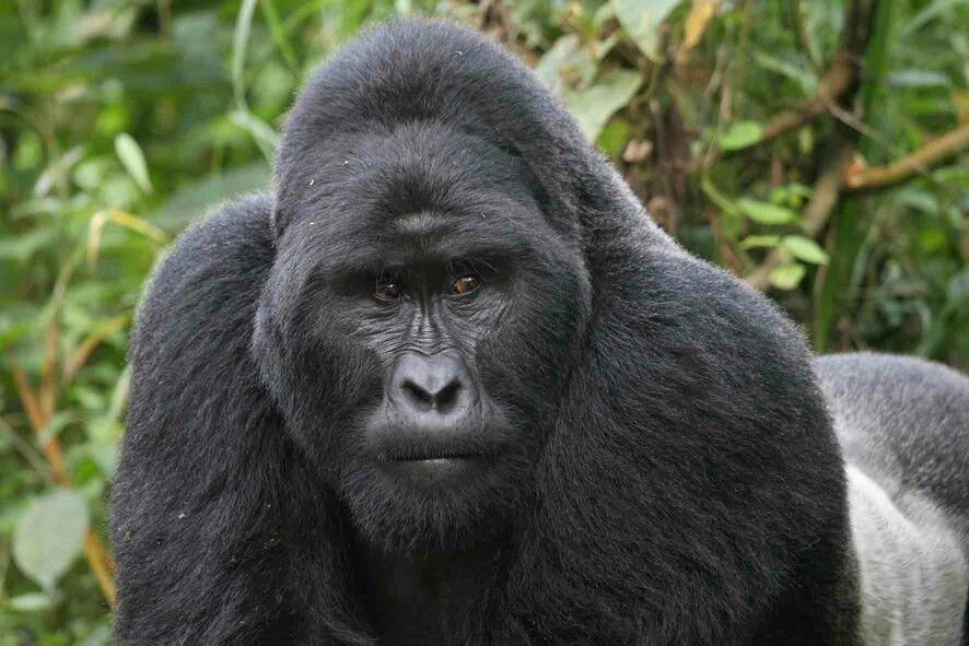 Pin by junio assis on anatomia gorila | Pinterest