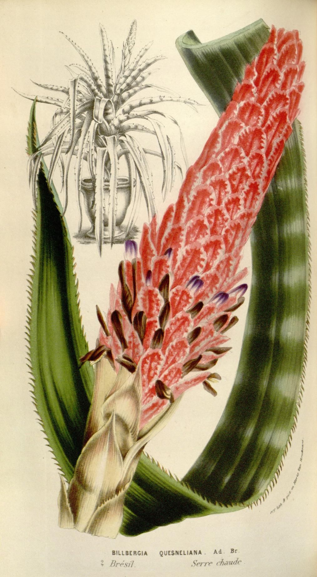 Billbergia quesneliana