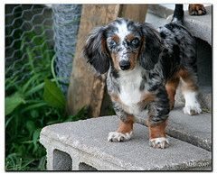 Gorgeous Markings Gimme Gimme Gimme Dapple Dachshund