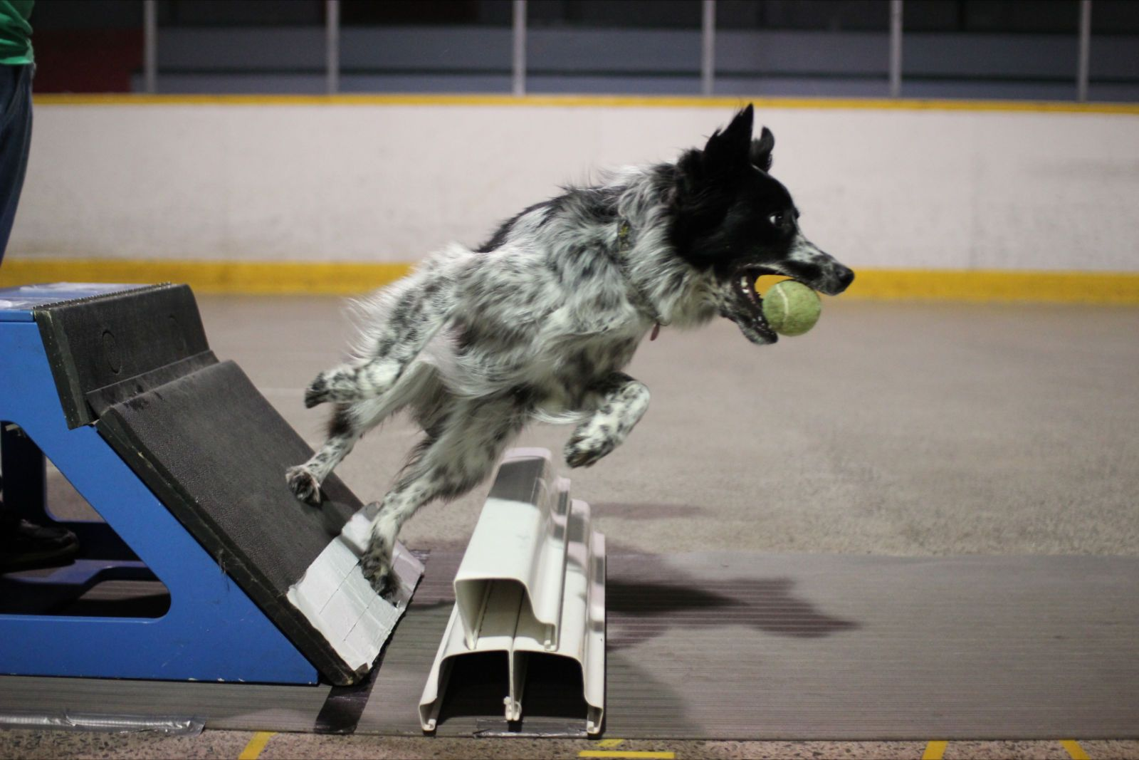 0ur Border Collie Loca At A Flyball Practice Sporting Dogs Best