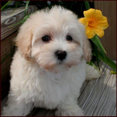 Maltipoo Puppies For Sale Maltese Toy Poodle Mixed Breed Poodle Mix Breeds Yorkshire Terrier Puppy Yorkie Poodle Mix
