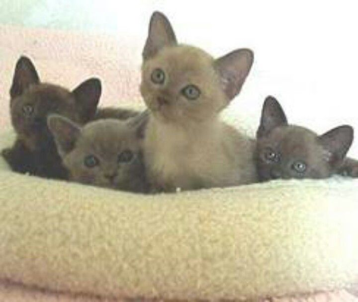 When Do We Get Color Points Like Yours Daddy Burmese Cat Burmese Cats For Sale Burmese Kittens