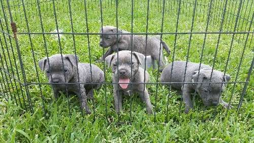 Blue English Staffy Puppies For Sale All Come With Complete Vet Checks Micro Chipped Vacations With Images English Staffy Puppies Puppies For Sale Staffy Puppies For Sale