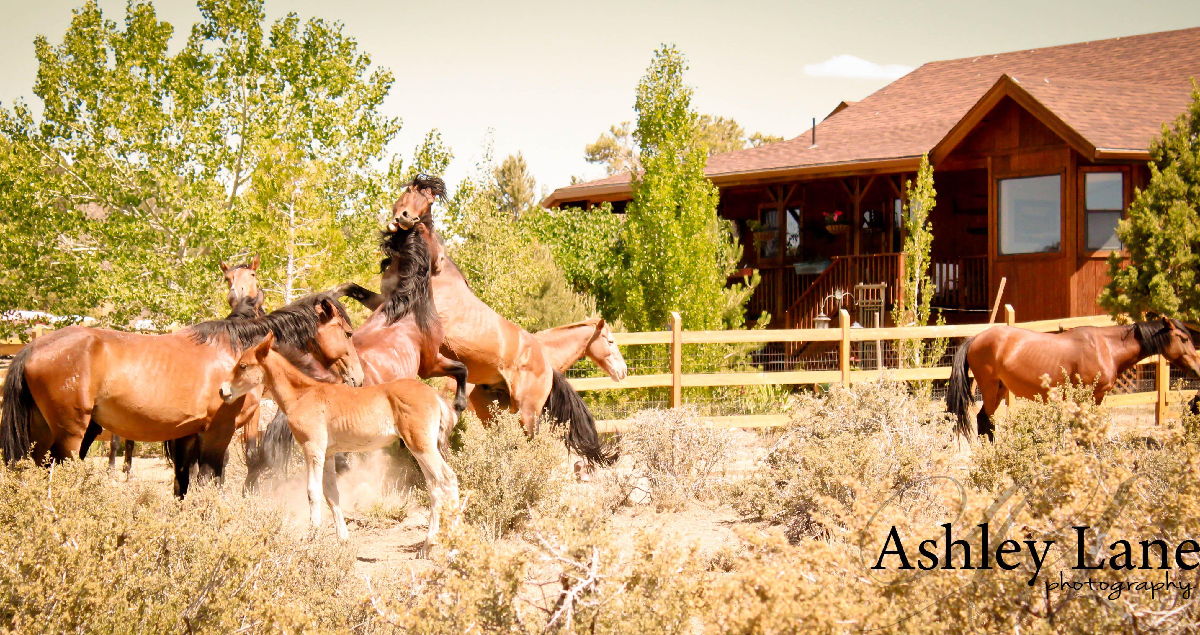 WILD horse fight!  Virginia City, Nevada