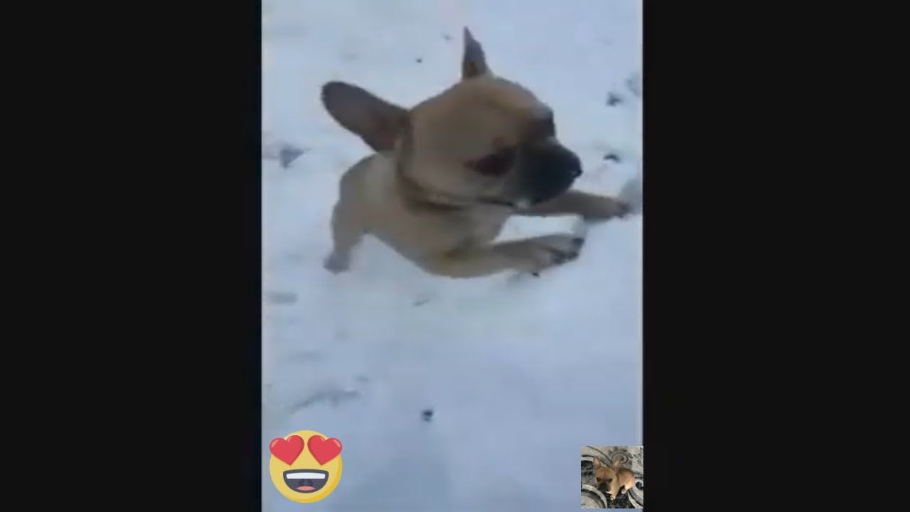 Funny And Cute French Bulldog Video Compilation Music
