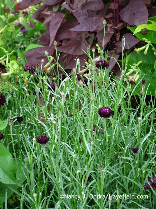 Black Ball Cornflower Centaurea Cyanus With Magenta Magic Orach Atriplex Hortensis Nancy J Ondra At Hay Planting Flowers Gothic Garden Black Beauties