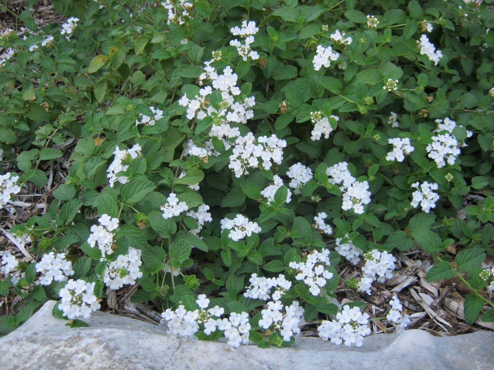 Lantana Montevidensis Alba Lantana White Plants Backyard Plants