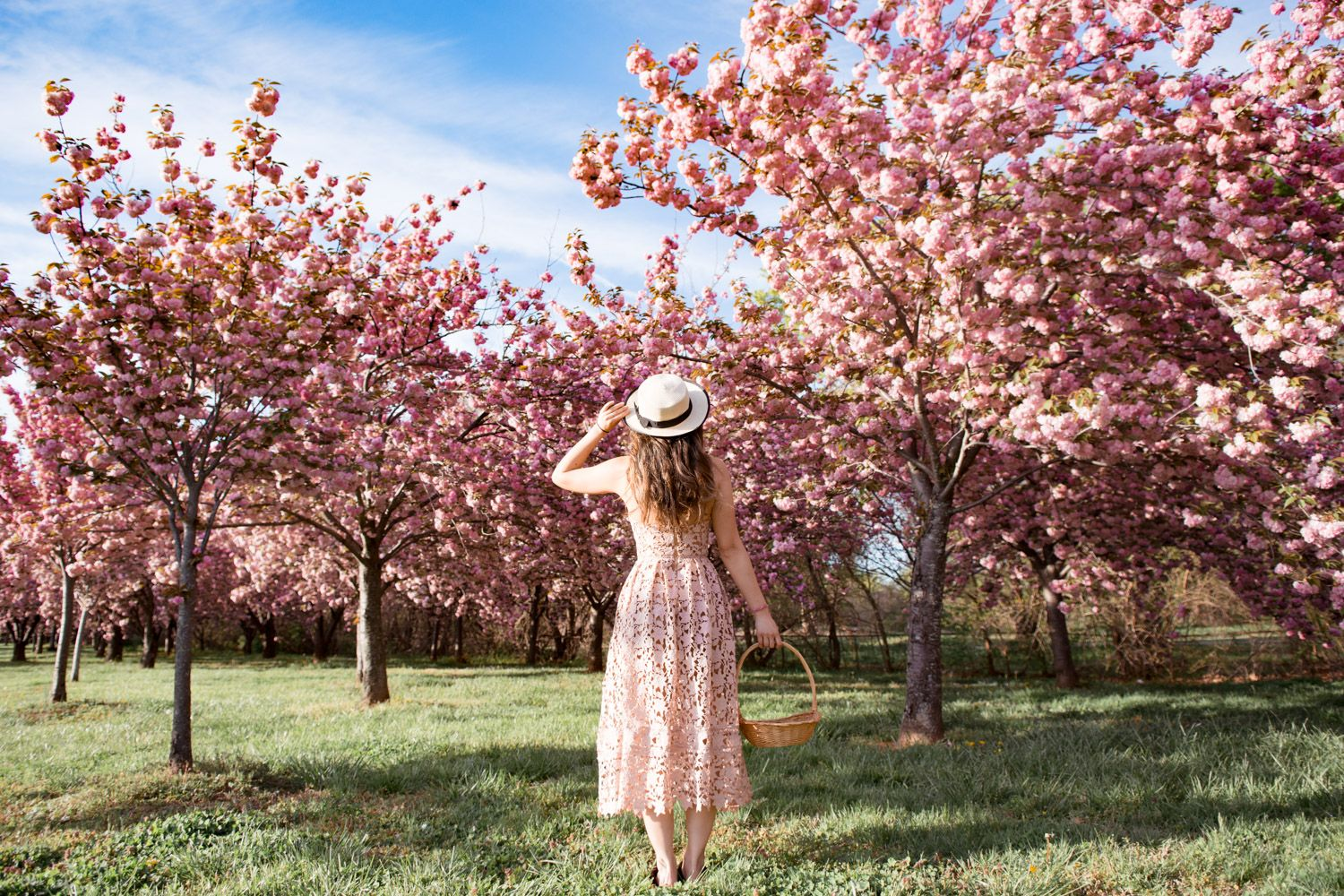 5 Secret Places To See Cherry Blossoms In Dc That Are Tourist Free 2021 Cherry Blossom Dc Cherry Blossom Washington Dc Fall Foliage