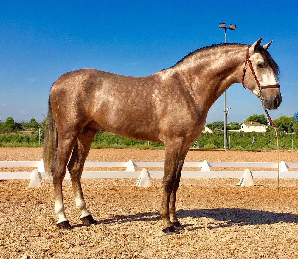 Rose Grey Lusitano Stallion Andalusian Horse Horses Lusitano Stallion