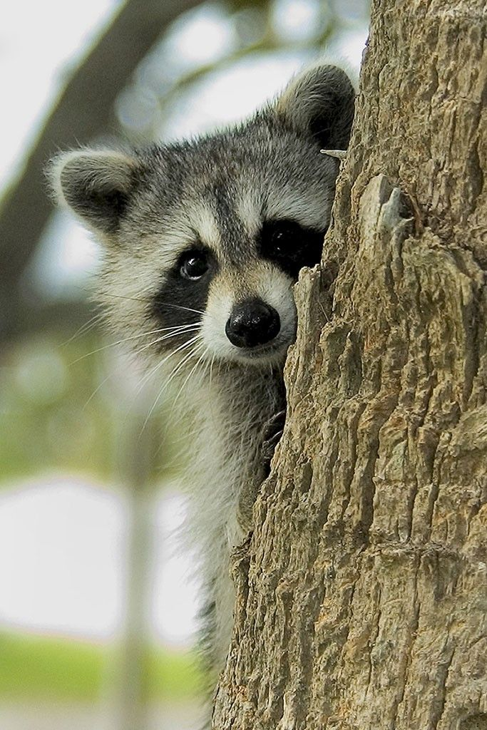 Why do raccoons purr Cute raccoon, Cute animals, Animals