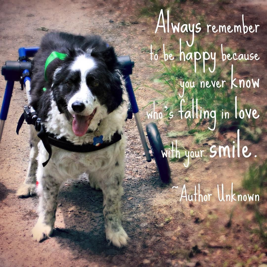 "Quote of the Week: ""Always remember to be happy because you never know who's falling in love with your smile."" -Author Unknown  #inspirationalquotes #smile #handicappedpets #australianshepherd #dogstagram  #walkinwheels #happy #dogs #pets #quotes #quoteoftheweek #happiness #pets #puppy #puppies #dogsofinstagram #petsofinstagram #animallovers #animalsofinstagram"