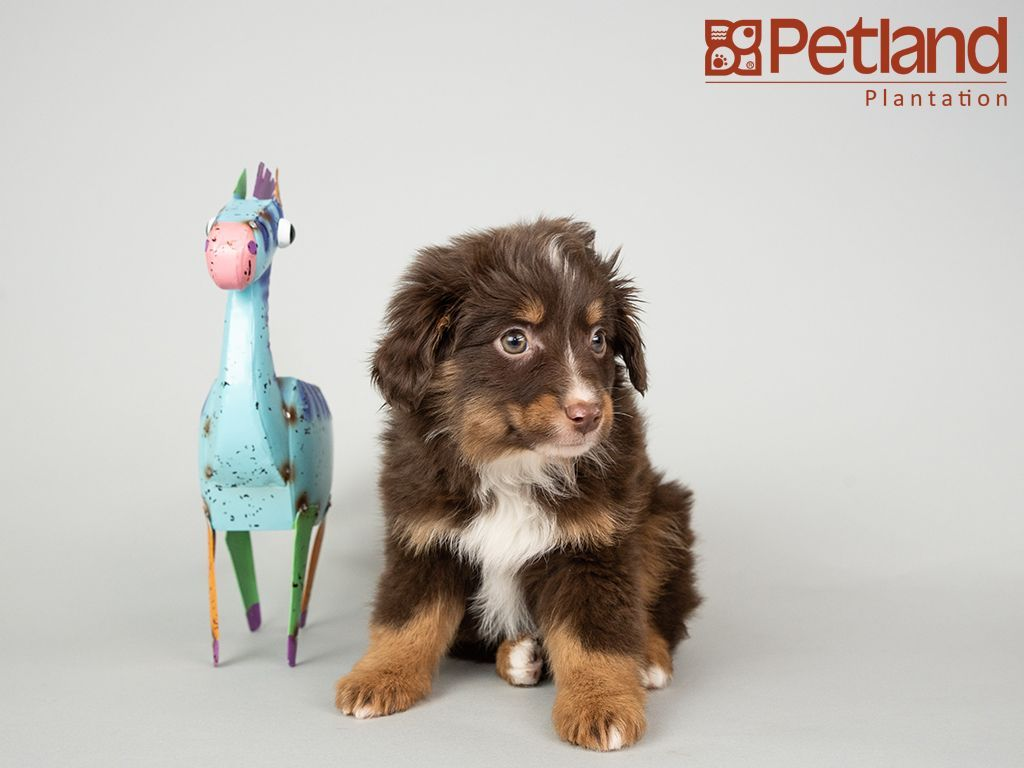 Petland Florida Has Mini Aussie Puppies For Sale Interested In Finding Out More About This Breed Chec Puppy Friends Mini Aussie Puppy Aussie Puppies For Sale