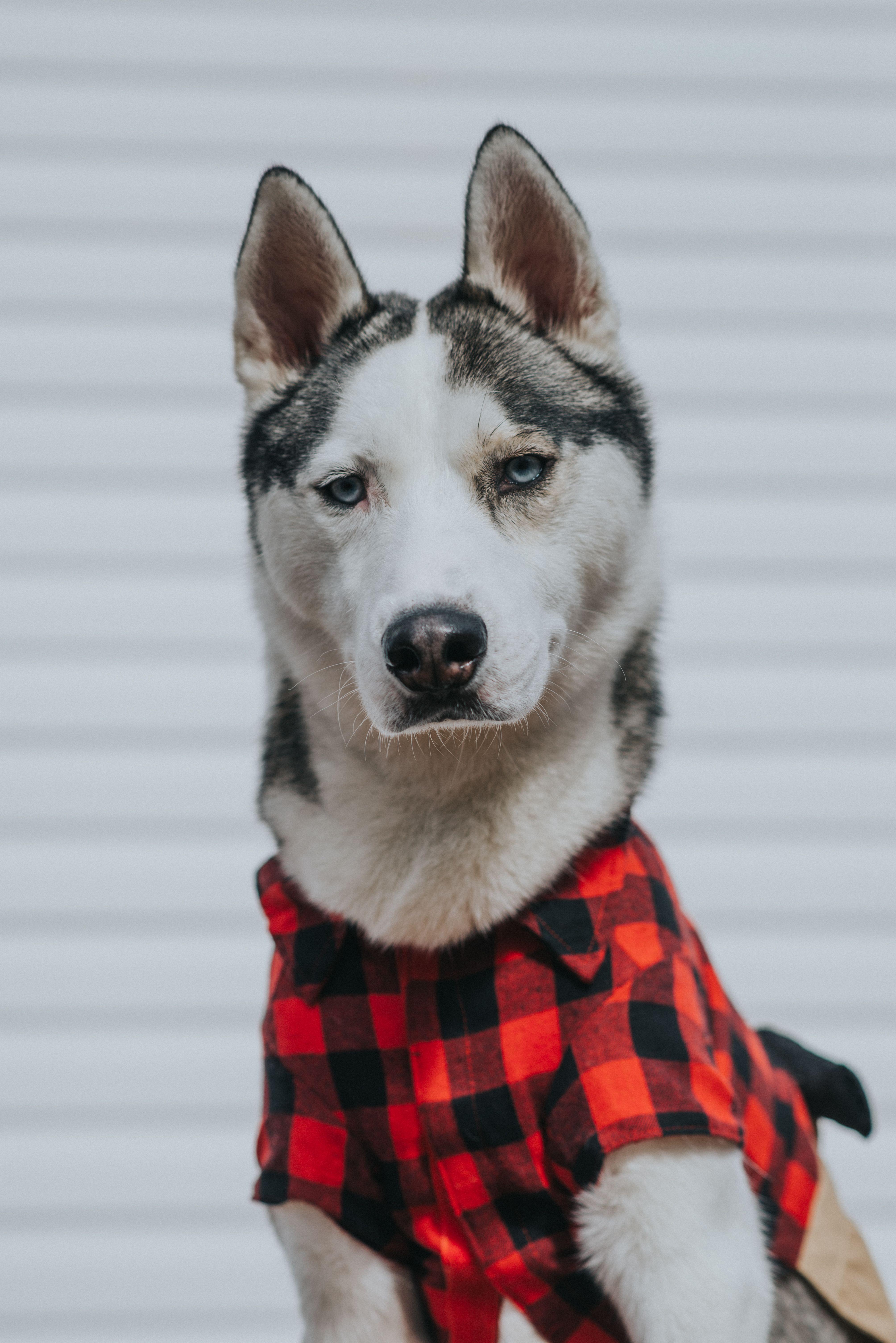 lumberjack husky halloween costume @peteethehusky | puppies