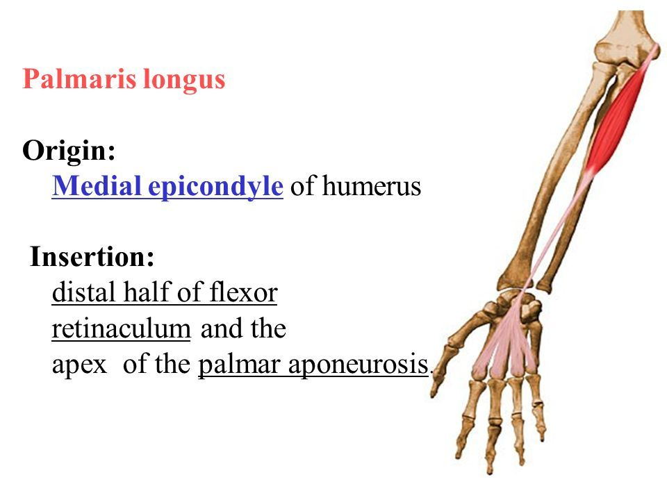 Human Anatomy Muscles Of The Forearm Muscles Of The Forearm The
