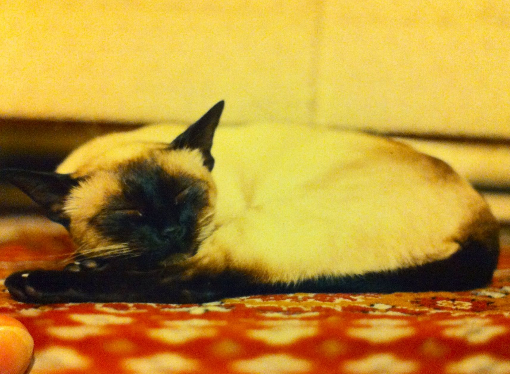 Minouge (qepd) (RIP) Mi primera gata, llegó a la familia en octubre de 1986.  Estuvo con nosotros hasta el año 1993. Muy juguetona y hacía desastres en las cortinas.