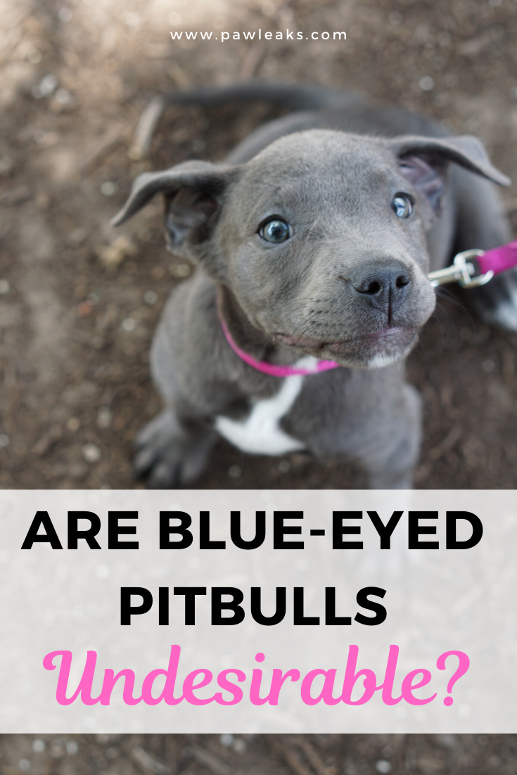 The Controversy Around The Blue Eyed Pitbull In 2020 Pitbulls