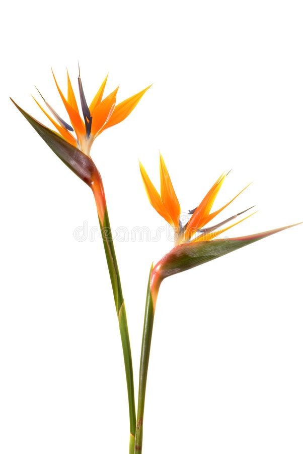 Bird Of Paradise Flower Strelitzia Reginae Isolated On White Background Aff Flower Birds Of Paradise Flower Paradise Flowers Birds Of Paradise Plant