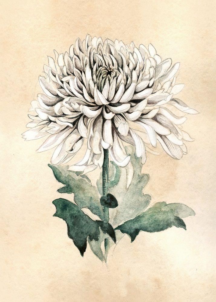 White Chrysanthemum Art Print Chrysanthemum Tattoo Chrysanthemum Flower Tattoo Flower Sketches