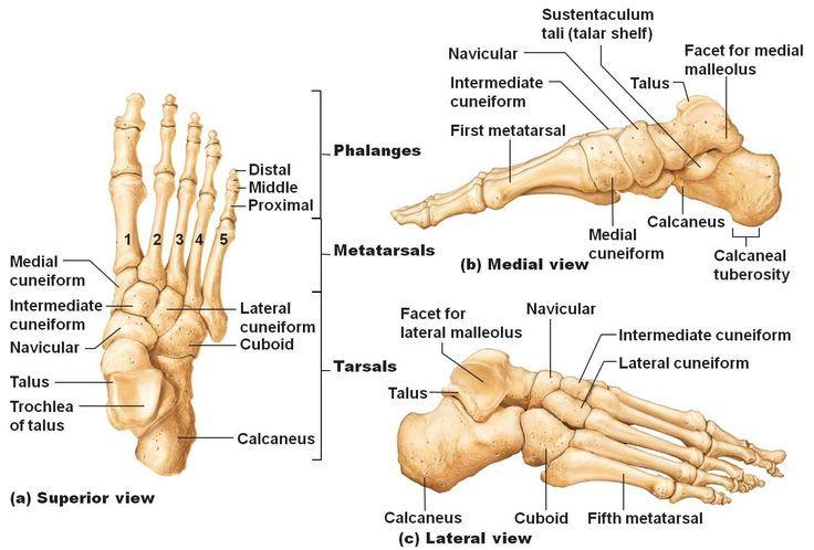 Anatomy Of Foot Bones Anatomy Physiology 141 Ganther