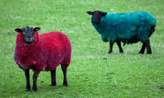 "Dyed sheep, Scotland. Why spray-paint sheep red? ""They are causing quite a stir with passers-by,"" according to farmer Andrew Jack, who further explained ""It is a bit of fun and it does brighten things up."" Aye, so it do!"