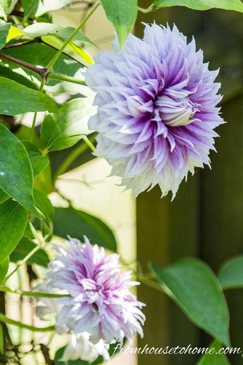 How to grow clematis with big beautiful blooms if you are looking
