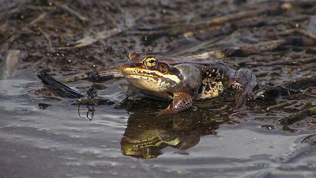 Frogsicles: Wood Frogs Freeze to Survive Harsh Alaskan Winter