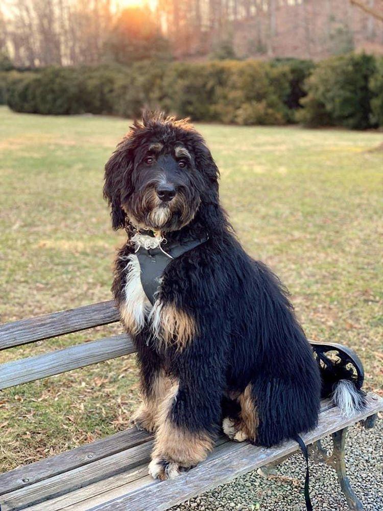 Dunbar Doodles In Indiana Find Your Bernedoodle Puppy Good Dog