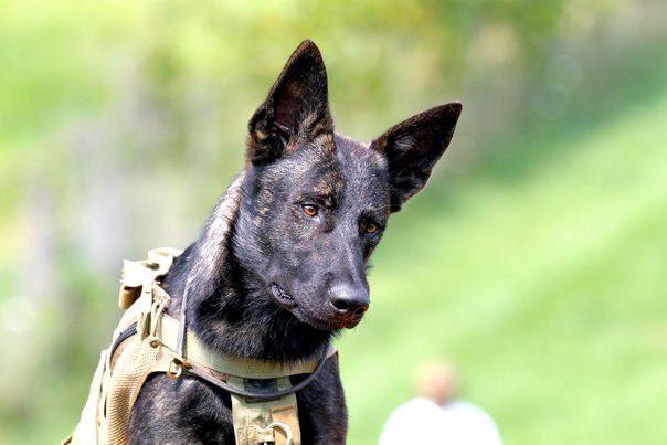 Cain Malinois Dutch Shepherd Working Dog In Training Www