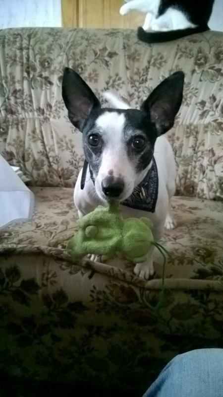 Jacky Jack Russell Terrier Pawshake Oststeinbek