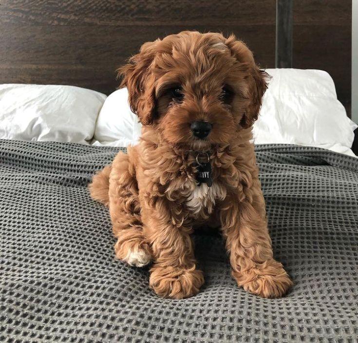 #dog  #goldenretriever  #aww  #puppy  #cute  #cuteanimal  #poodle  #crossbreeddog  #cavapoo  #cockerpoo  #puppies  not my photo ?