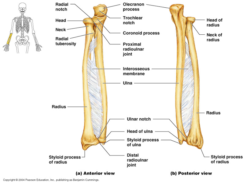 radius and ulna - google search | medical | pinterest | radius and, Skeleton