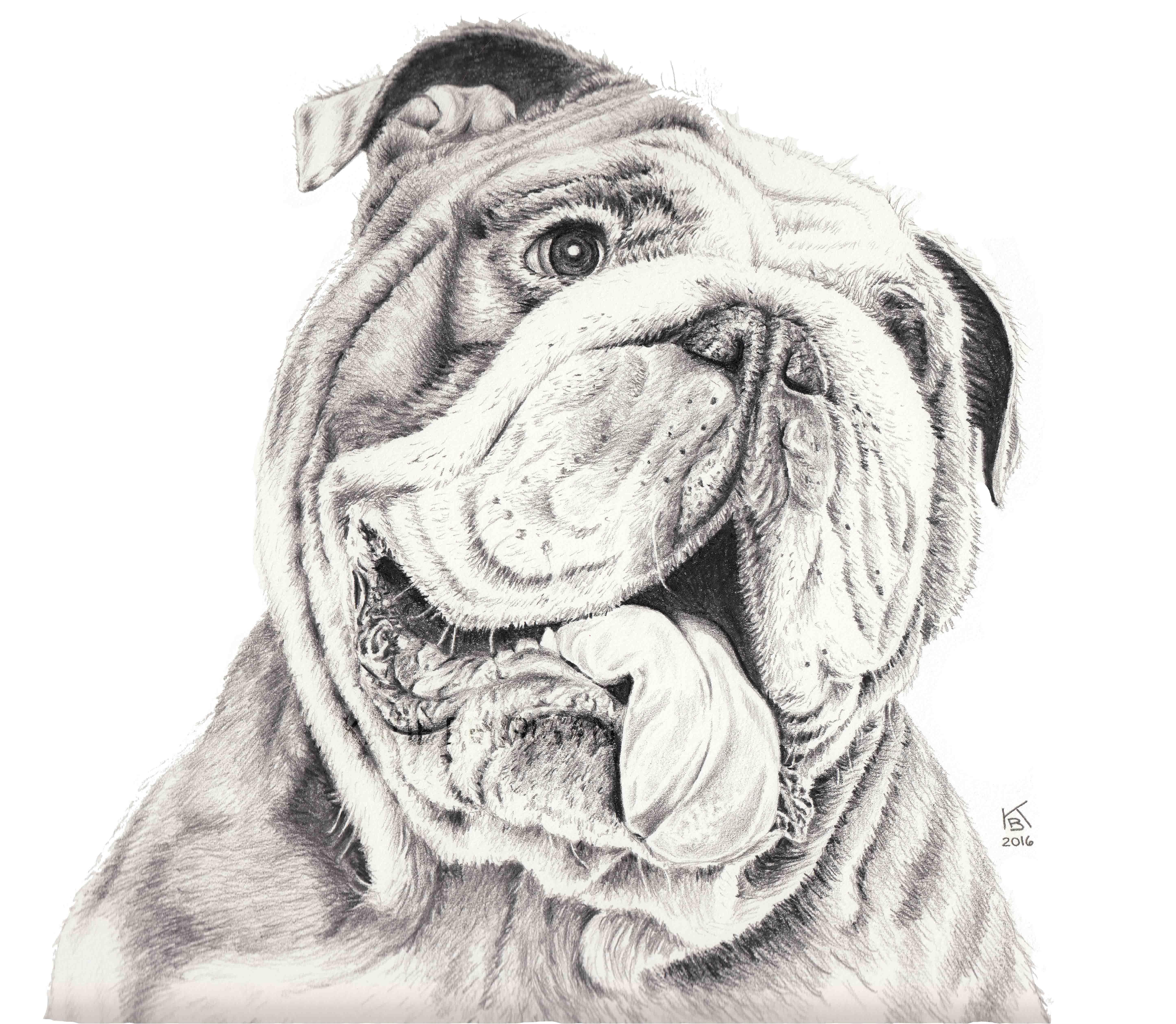8x10 graphite pencil drawing of a bulldog www kberriganart com