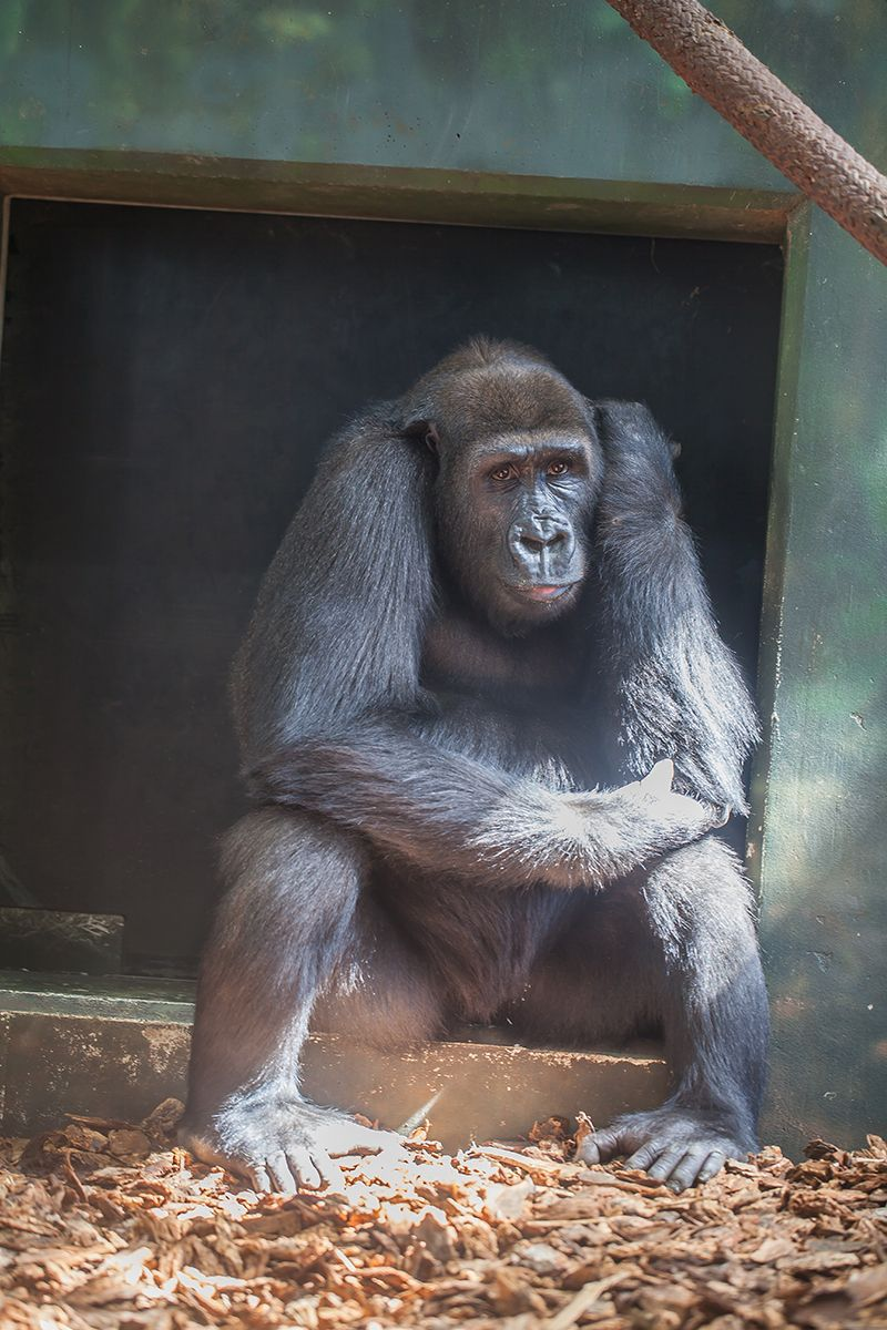 Amare Western lowland gorilla My animal
