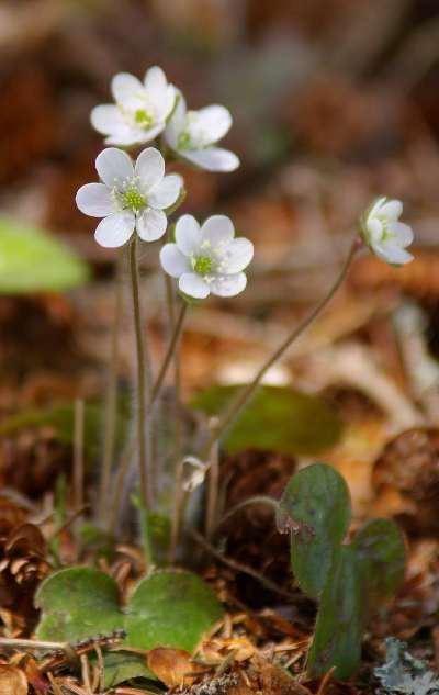 Round-lobed hepatica,  Paddy Creek, Sudbury, Copyright 2005 Andy Fyon.  Pipsissewa plant, copyright 2005 Andy Fyon. Ontario Deciduous forest Wildflower