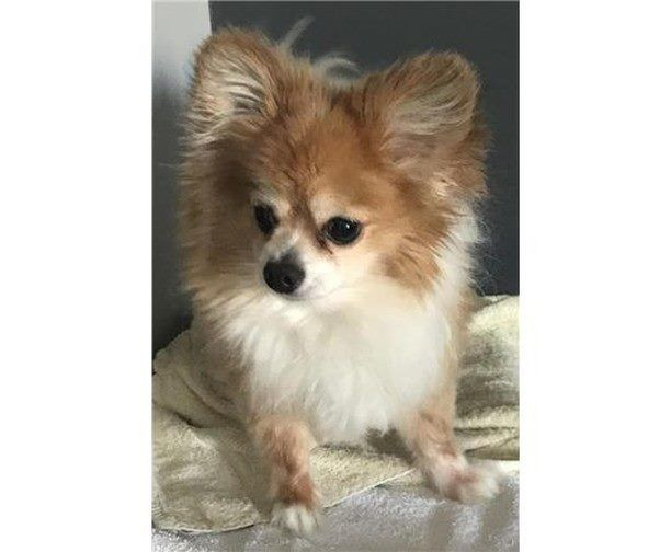 I Want Her Downey Ca Beagle Pomeranian Mix Meet Bubbles A Puppy For Adoption