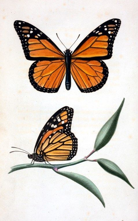 Monarch butterfly | Tatuajes | Pinterest | Monarcas, Mariposa ...