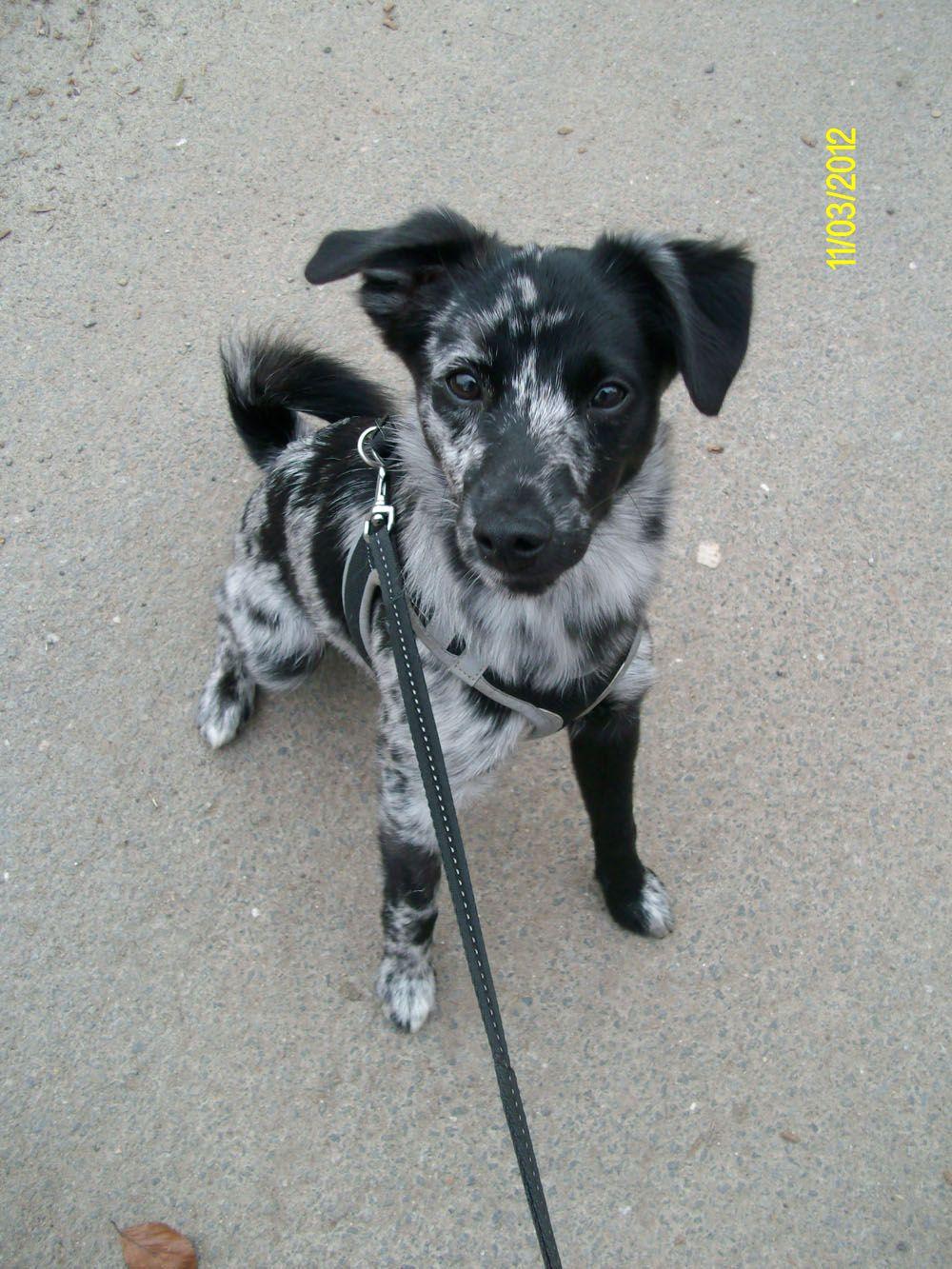 Merlin Parson Russell Terrier Westhighland Terrier Zwergspitz
