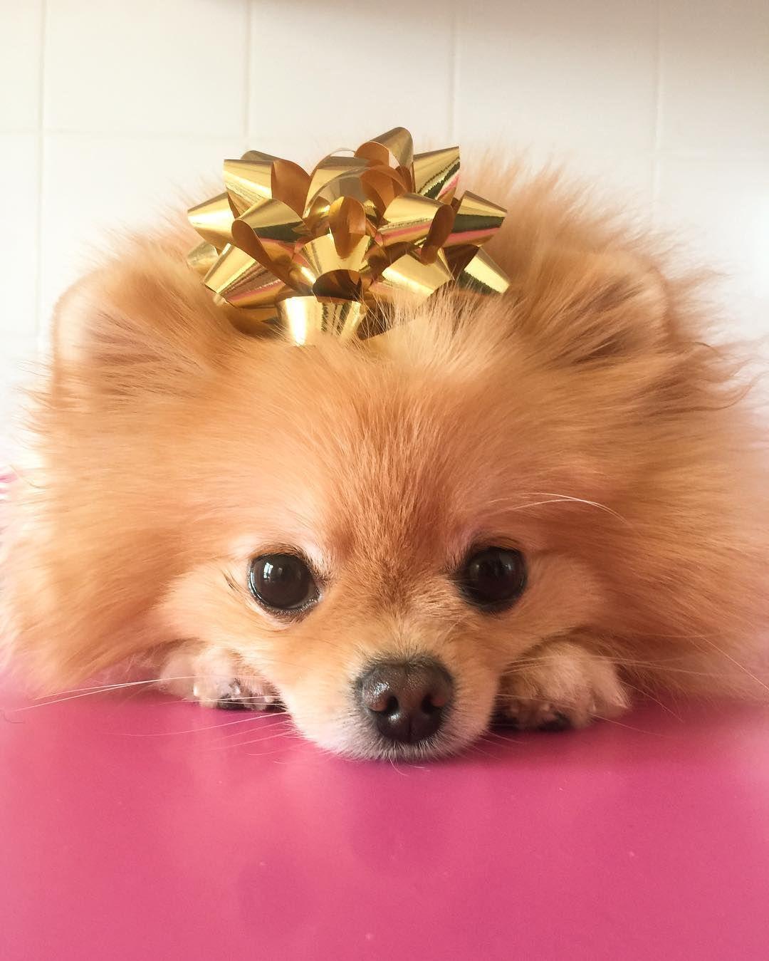 Adorable Christmas Pomeranian Dog Perfect Present