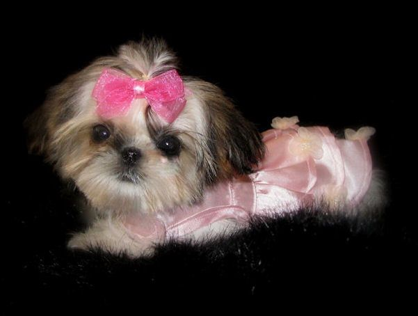 Omg I Want Sweet Tooth Imperial Shih Tzus Of Salt Lake City