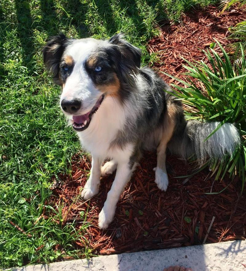 Adopt Tetra On Dog Adoption Australian Shepherd Dogs
