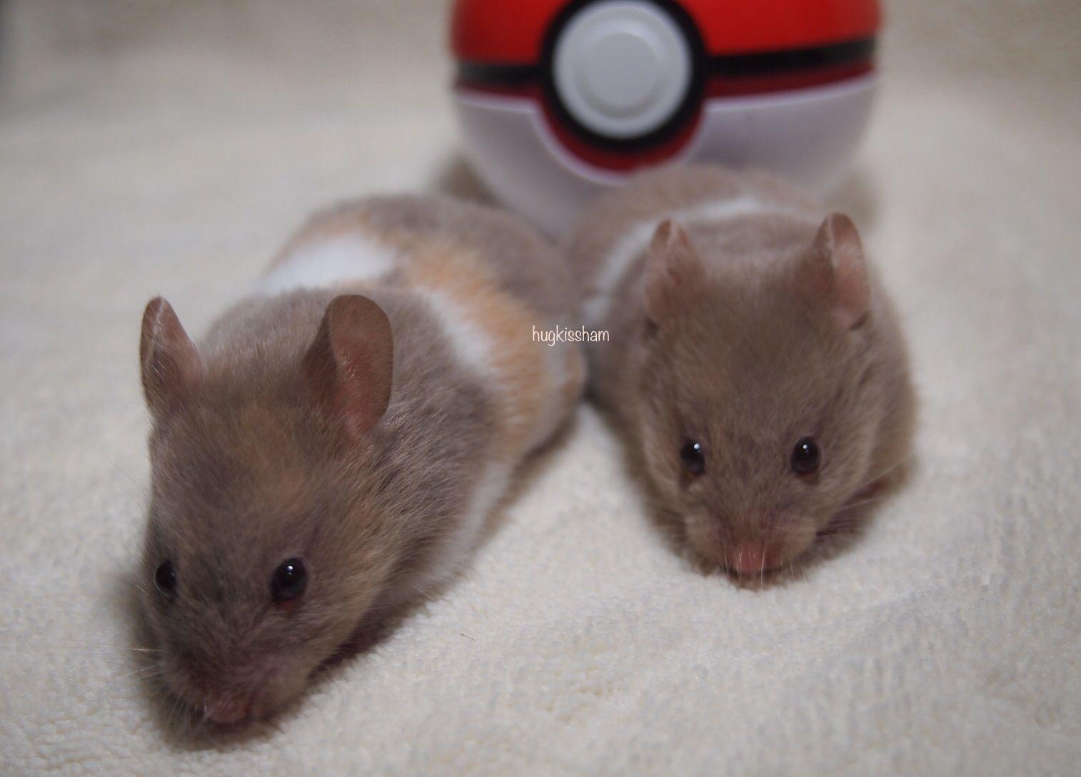 Dove Tts Sh Syrian Hamster Hamster Melanistic