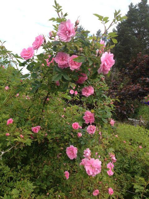 Takalo-Roppolan puutarha- ja mansikkatila: RUUSUT- rose Ilo