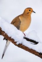 Winter Mourning Dove on a snow branch in OH | Title: Winter Mourning Dove | Location: Ohio  | Park: Side Cut Metropark  | Season: Winter