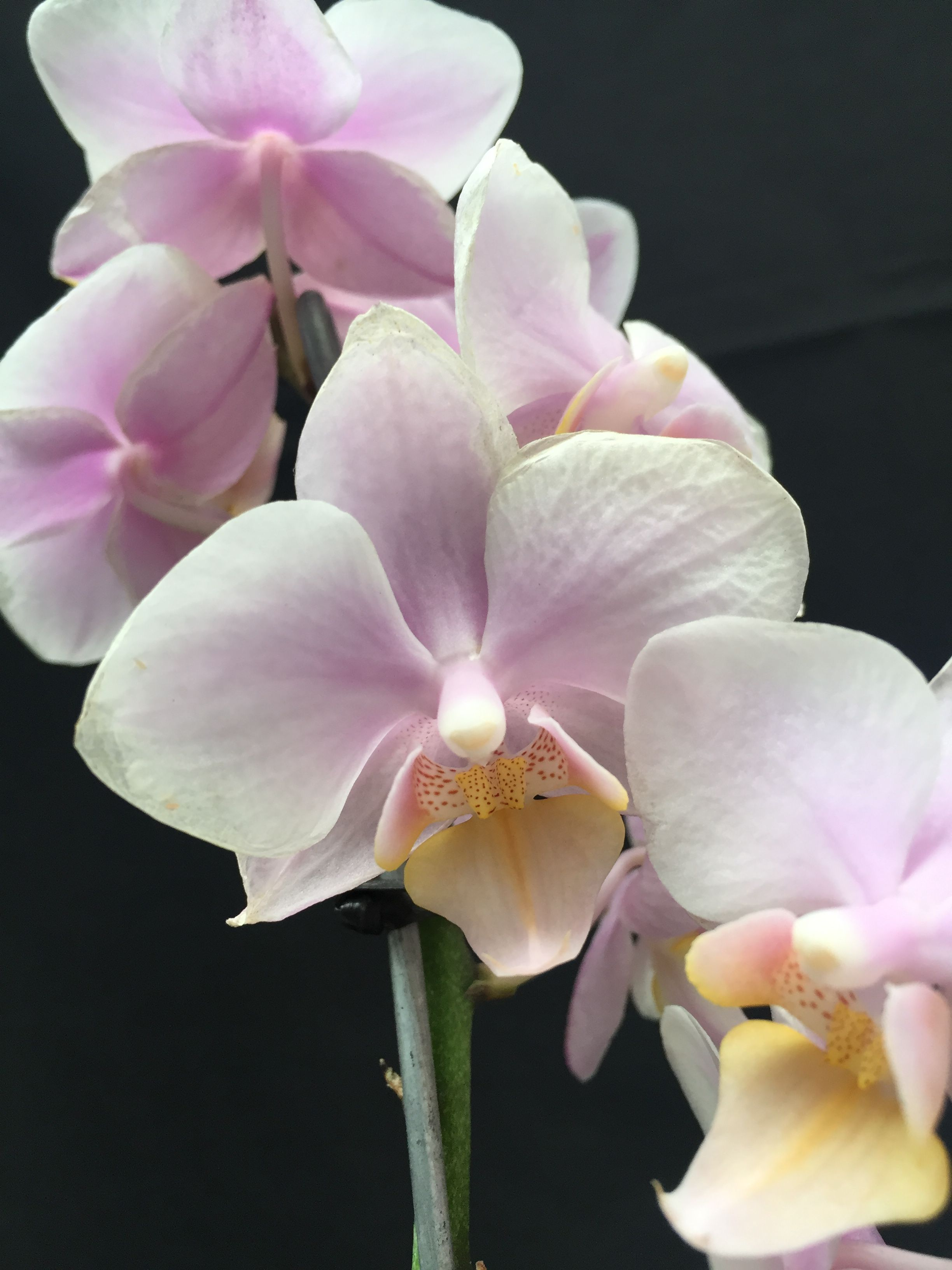 Orquidea Phalaenopsis Mini Soft Amagla Flowers Orchids Plants