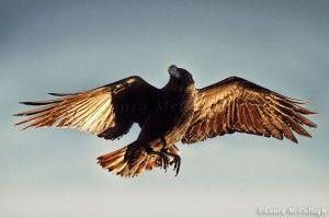 Golden winged Eagle