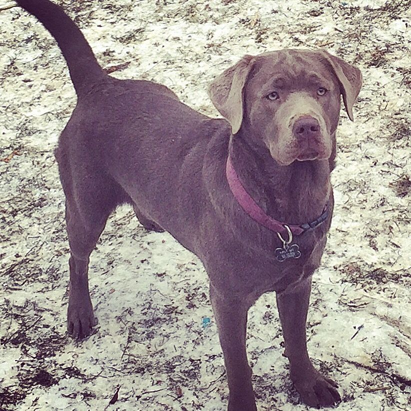 Silver Lab Female Bred by Enlightened Labs VT | Silver and