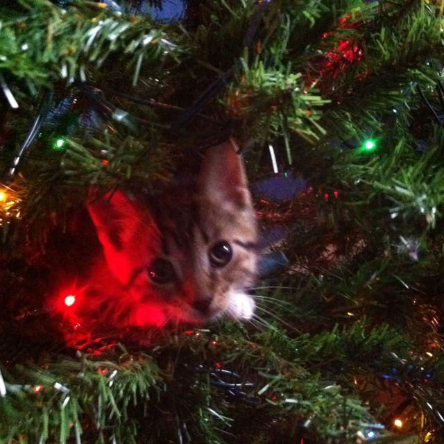 True Life I Climbed The Christmas Tree Cat Celebrating Cats Animals