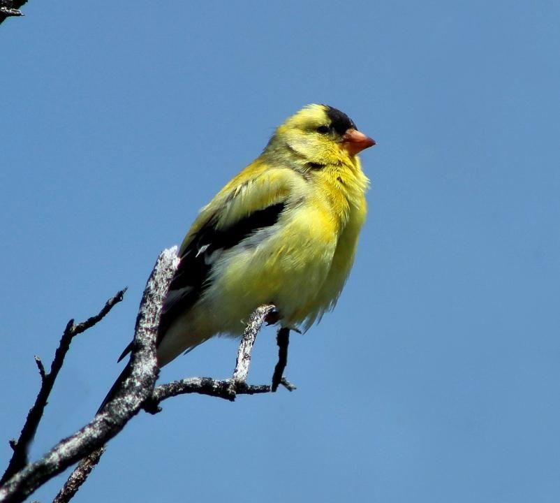 Iowa state bird eastern goldfinch now american goldfinch